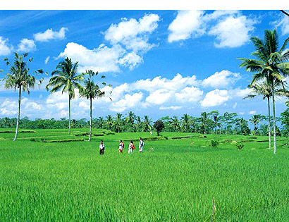 The Bali Times cover, Bali ricefields