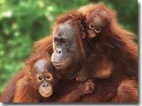 infocus-orangutan.jpg