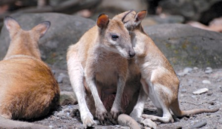 BT-Wallaby-net