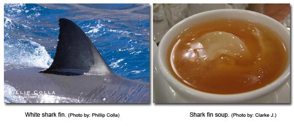 Web-shark