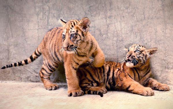 Tiger-cubs