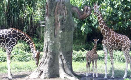 BSMP-Giraffe